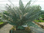 Cycas collina  Vietnam