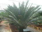 E. hildebrantii Tansania