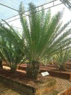 E.equatorialis Uganda