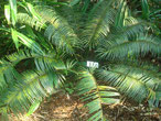 Cycas silvestris Queensland