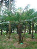 Cycas seemannii Vanuata