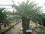 Cycas angulata Australien