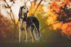 un chien Greyhound blanc et noir debout sous un bois en automne par coach canin 16 éducateur canin à domicile cognac