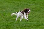 un chien springer spaniel courre dans un pré par coach canin 16 dressage chien charente