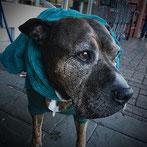 Coprophagie : chien qui mange les excréments d'autres chiens
