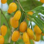 Lycium barbarum 'Amber Sweet'®