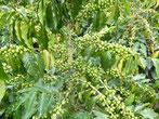 Diese Kaffeebohnen sind noch zu grün zum Ernten