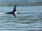 In den Gewässern um Vancouver Islands ist gerade Orca-Zeit. Die Killerwale...