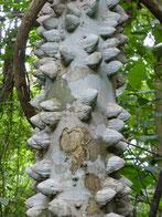 Andere Bäume sind beeindruckender: Hier der Warzenbaum...
