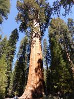 ...ist der größte Baum der Welt.