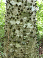 ...oder der Dornenbaum (Namen frei erfunden)