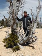 Am Ende vom Bristlecone Pine Trail stehen Bristlecon Pines. Diese Nadelbäume sind die ältesten, bekannten Lebewesen unseres Planeten. Sie wachsen in 100 Jahren 2,5 cm.