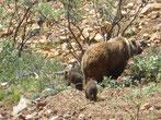 Im Denali Nationalpark sehen wir eine Grizzly-Mutter mit zwei Grizzly-Babys...
