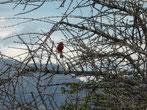Der Rotbauch-Dornenvogel