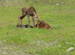 Junge Elche stackseln herum