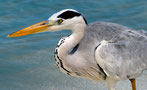 Heron | Maledives