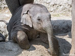 éléphanteau petit bebe elephant