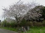 お地蔵さんの桜