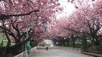 tyanmaruさん:馬事公苑の八重桜並木