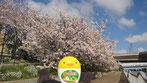 tyanmaruさん:桜と手のりたま