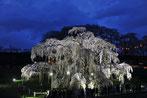 八重垣写真館さん:福島県田村郡・三春滝桜 ライトアップ