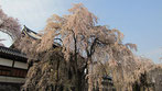 tyanmaruさん:東郷寺のしだれ桜