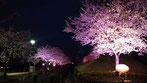 千囃連さん:成田空港近くのさくらの山公園の桜です
