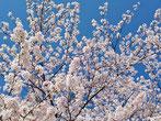 GIOさん:港区赤坂(3/31)
