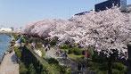 千囃蓮さん:隅田公園のさくら