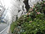 svanejyuさん:桜田通り