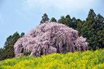 八重垣写真館さん:福島県二本松市・合戦場のしだれ桜