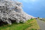 SHUNさん:埼玉県熊谷市・桜堤祭り(4/4)