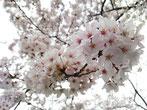 ごん太さん:東京都墨田区向島の桜