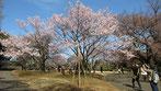 tyanmaruさん:新宿御苑の高遠小彼岸桜