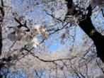 マッハ55さん:埼玉県朝霞市・普通の公園(3/31)