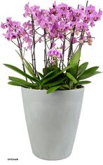 arrosage automatique orchidée en pot avec OriCine®