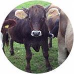 Demeter Gärtnereien kommen nicht ohne Rinderdung aus, deshalb werden Kühe gehalten die durch den Zyklus von Schlachtung, Aufzucht kostendeckend gehalten werden.