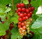 Rote Johannisbeere, Gartenarbeitsschule