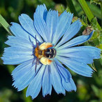 Wegwarten-Hosenbiene