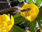 Winterschwebfliege-Gartenarbeitsschule