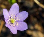 Leberblümchen, Gartenarbeitsschule