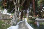 Alte Ficusbäume