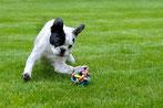 Un chien bouledogue Français blanc et oreilles noires joue avec une grosse balle de corde par coach canin 16 dresseur chien à angouleme