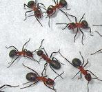 Formica polyctena, Kahlrückige bzw. Kleine rote Waldameise