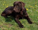 Labradordeckrüde