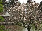 平成25年 成田の梅まつり