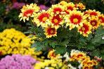 神宮境内の菊花展(1)