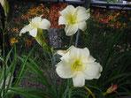 オリジナル新花「小雪」