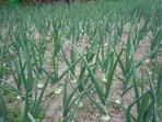極早生玉ネギ「マッハ」、4月下旬にはボツボツ収穫できそうです