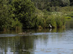 Un héron sur l'étang à quelques mètres d'un mobil home La Grenouillère Frise Somme